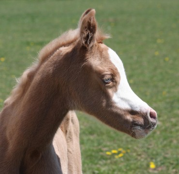 An incredible palomino filly born ..