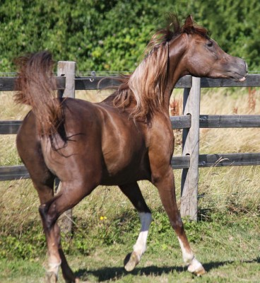 Incredible arab mare for sale …